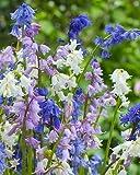 Spanish Bluebells,HYACINTHOIDES HISPANICA (10 MIXED BULBS)A.K.A Wood Hyacinth