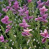 Clary/elegant Sage 'Pink Sundea' (Salvia Viridis L.) Flower Plant Seeds, Annual Heirloom