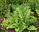 1 Strater Plant of Dryopteris Filix-Mas 'Cristata' - Cristata Crested Male Fern