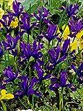 15 Bulb Plant Dwarf Iris Reticulata