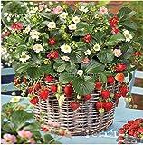 New Italian Alpine Strawberry, 100 + Seeds