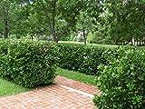 Viburnum Suspensum Qty 40 Live Plants Evergreen Privacy Hedge