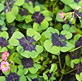 Oxalis Iron Cross Shamrock Bulbs Good Luck Plant - Fast Growing Year Round Color Indoors or Outdoors - 15 Robust Bulbs