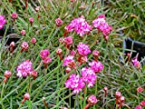 Armeria maritima 'Rubrifolia' Sea Thrift - Ruby Pinks
