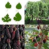 HEIRLOOM NON GMO Black Mulberry 25 seeds