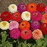 Outsidepride Zinnia Elegans Lilliput Flower Seed Mix - 1000 Seeds