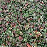 50 Seeds Wintergreen Seeds - Beautiful Ground Cover - Perennial - Gaultheria Procumbens !