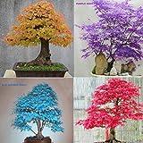 30X Japanese Maple Tree Bonsai Seeds Acer Palmatum Atropurpureum Plant Garden