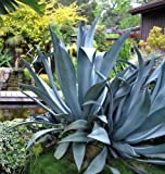 AGAVE SALMIANA, rare succulent pulque century plant exotic garden seed -15 SEEDS