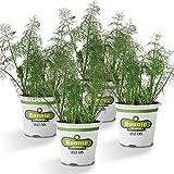 Bonnie Plants 4P5045 Fernleaf Dill (4-PACK),