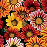 Gaazania- Sunshine Mix- 50 Seeds