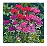David's Garden Seeds Flower Bee Balm Panorama Mix SL9088 (Purplish) 100 Non-GMO, Open Pollinated Seeds
