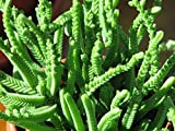 Crassula muscosa plant