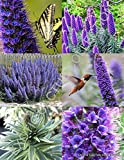Echium Fastuosum Candicans rare Pride of Madeira purple flowers exotic- 20 seeds