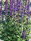 Perennial Farm Marketplace Salvia n. 'Caramia' ((Sage) Perennial, Size-#1 Container', Violet-Purple Flowers
