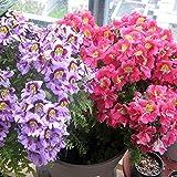 Wintefei 100Pcs Colorful Schizanthus Pinnatus Flower Seeds Angel Wing Garden Plants Decor