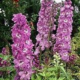 50 Seeds - Delphinium Astolat Flower Seeds (Delphinium Cultorum)