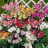 100 Seeds Alstroemeria seeds Peruvian Lily Alstroemeria Inca Bandit Princess lily MIX #32797312637ST