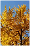 Ginkgo Biloba - Healthy Established Roots - Gallon Potted - 1 Plant by Growers Solution