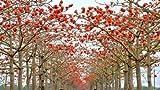 red cotton - Bombax ceiba Fast - showy Tree - Tree Seeds (5)
