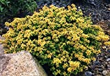 1 Strater Plant of Thymus Pulegioides 'Archer's Gold' - Thymus X Citriodorus