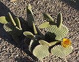 One Pad Opuntia microdasys albata albispina, 2 to 3 Inches, Bunny Ears Cactus