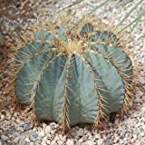 10 Seeds of Blue Barrel TRN743 (Ferocactus Glaucescens)