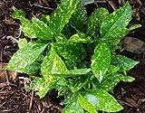 1 Starter Plant of Aucuba Japonica 'Alabai' - Aucuba Japonica 'Alabai'