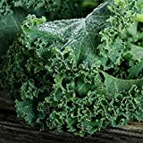 Kale Seeds - Blue Scotch Curled - Healthy Garden Planting