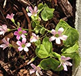 Oxalis Articulata Shamrock 5 Bulbs - Clover Plant, Produces Purple Flowers