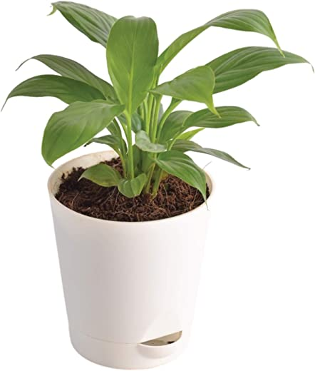 Ugaoo Peace Lily Plant with Self Watering Pot (Spathiphyllum)