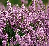 100 Scotch TRUE HEATHER Shrub Scot's Purple Pink Flower Calluna Vulgaris Seeds