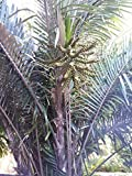 5 Arenga engleri - Cold Hardy -Sugar Palm Tree Seeds!