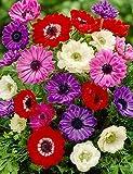St. Brigid Mix Anemone (Windflower)