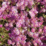 Drosanthemum floribundum - purple carpet Dorotheanthus - 10 seeds