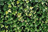 "Hirt's Baltic English Ivy 8 Plants - Hardy Groundcover -1 3/4"" Pots"