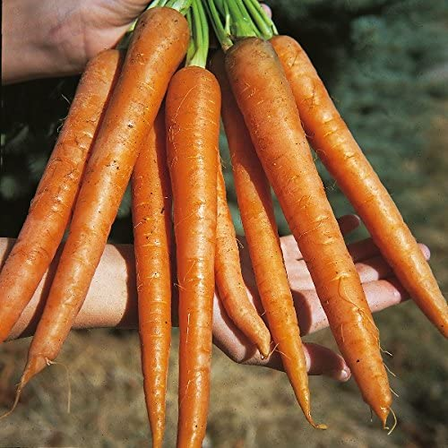 Amazon.com : Kings Seeds - Carrot St Valery - 2000 Seeds : Garden ...