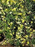 Jasminum mesnyi Sun Glo HARDY YELLOW JASMINE 1 Plant!