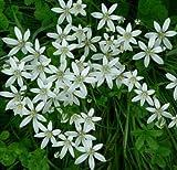 20 Bulbs STAR OF BETHLEHEM LILY BULBS ORNITHOGALUM HARDY PERENNIAL PLANT FLOWER