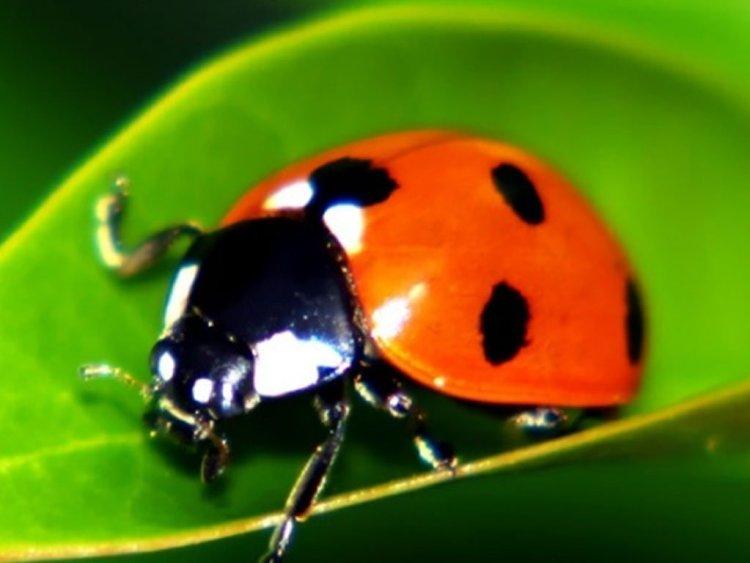Buy Live Ladybugs