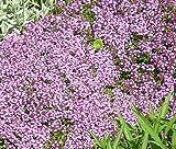 CREEPING THYME DWARF GROUND COVER Thymus Serpyllum - 5,500 Bulk Seeds