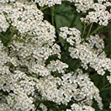 HEIRLOOM NON GMO White Yarrow 50 seeds