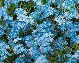 200+ Forget Me Not Indigo Blue Flower Seeds, Myosotis Sylvatica, Beautiful Ground Cover Bedding, Perennial. From USA