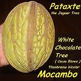 ~MOCAMBO~ Theobroma bicolor WHITE CACAO TREE Balam-te JAGUAR TREE