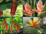 Heliconia Seeds Pack * Collector Pack * Aurantiaca * Rostrata * Mariae * Wagneriana * Very Rare * 20 Seeds