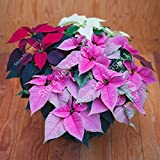 Brand New! 100 pcs Poinsettia Seeds, Euphorbia Pulcherrima,potted Plants, rare Flowering Plants seeds for hjome decoration - Arcis New