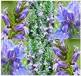 2,000 Great Blue Lobelia FLOWER Seeds L. siphilitica 4 wetland pond side, border