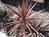 "Cordyline Red Star - Cordyline australis 'Red Star' - 4"" Pot"