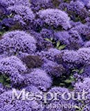 New MIX Throatwort(Trachelium Caeruleum) Nectar plants 50+ seeds - 4