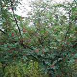 Chinese Sichuan Pepper Tree Seeds (Zanthoxylum bungeanum) 15 Seeds